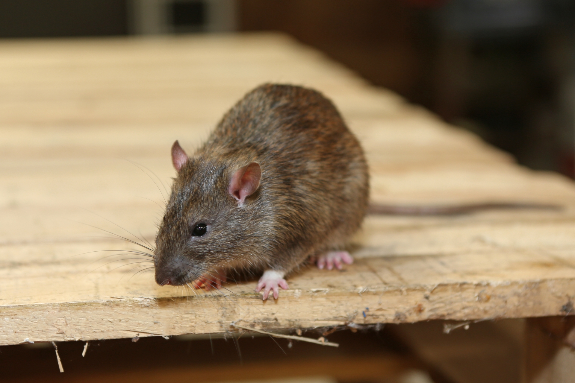 Rat Infestation, Pest Control in Kew, North Sheen, TW9. Call Now 020 8166 9746