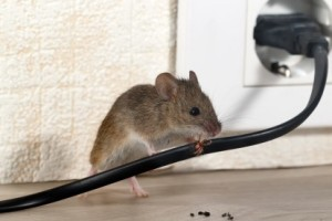 Mice Control, Pest Control in Kew, North Sheen, TW9. Call Now 020 8166 9746