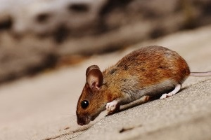 Mouse extermination, Pest Control in Kew, North Sheen, TW9. Call Now 020 8166 9746